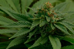 new-cannabinoid-thcp-discovery